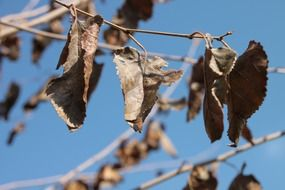 dry leaves of the mulberry tree