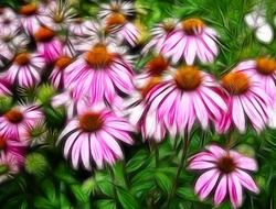 Pink echinacea flowers close-up on blurred background