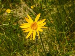 yellow arnica montana flower