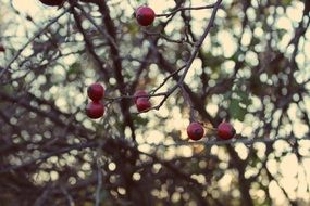Autumnal rose hips on a branches