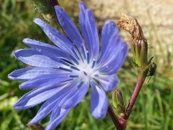 blue chicory flower