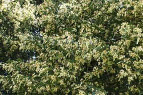 Photo of linden tree