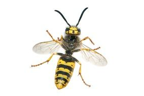 german vespula germanica wasp