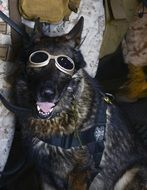 german shepherd dog in goggles