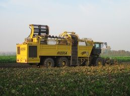 Yellow harvester gathers the sugar beet harvest