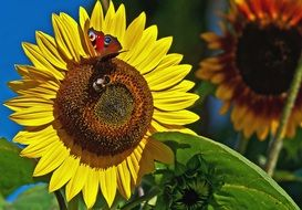 butterflyon sunflower