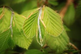 Beech leaves close-up