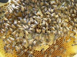 queen bee with colony