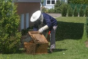 beekeeper opens the hive