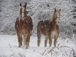 two horses on a farm in winter