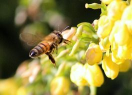 honey bee landing on yellow flower