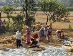 Nepalese gather the wheat