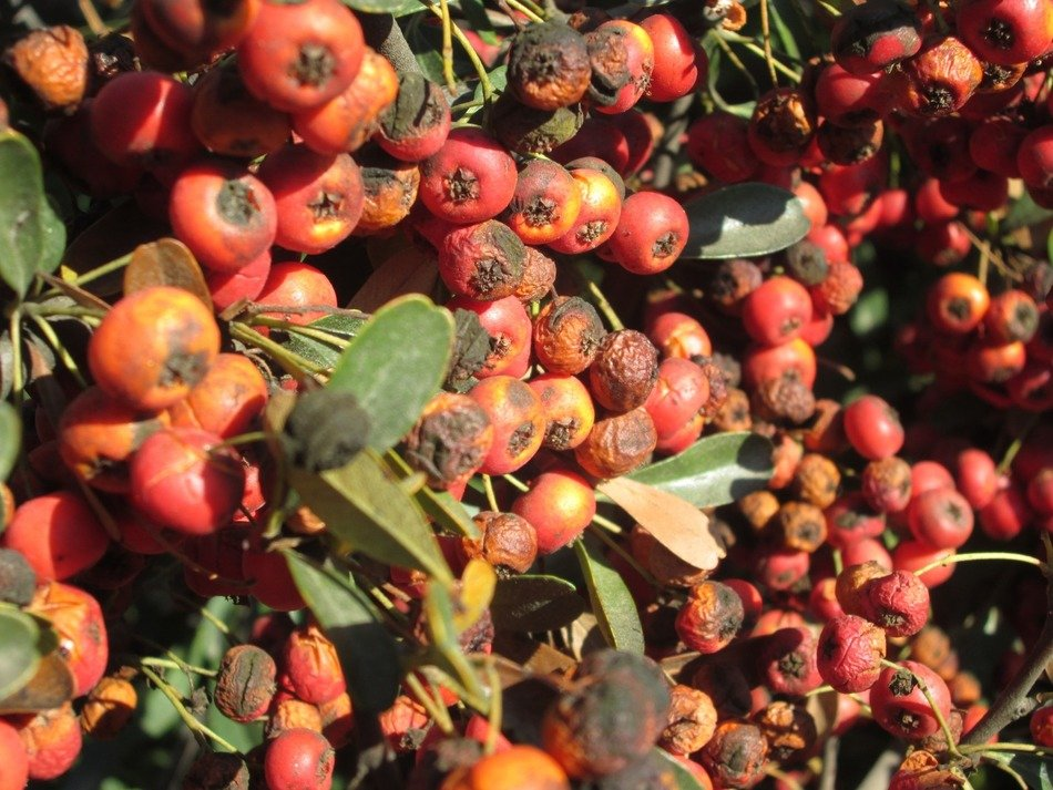 bright rowan berries on a branch