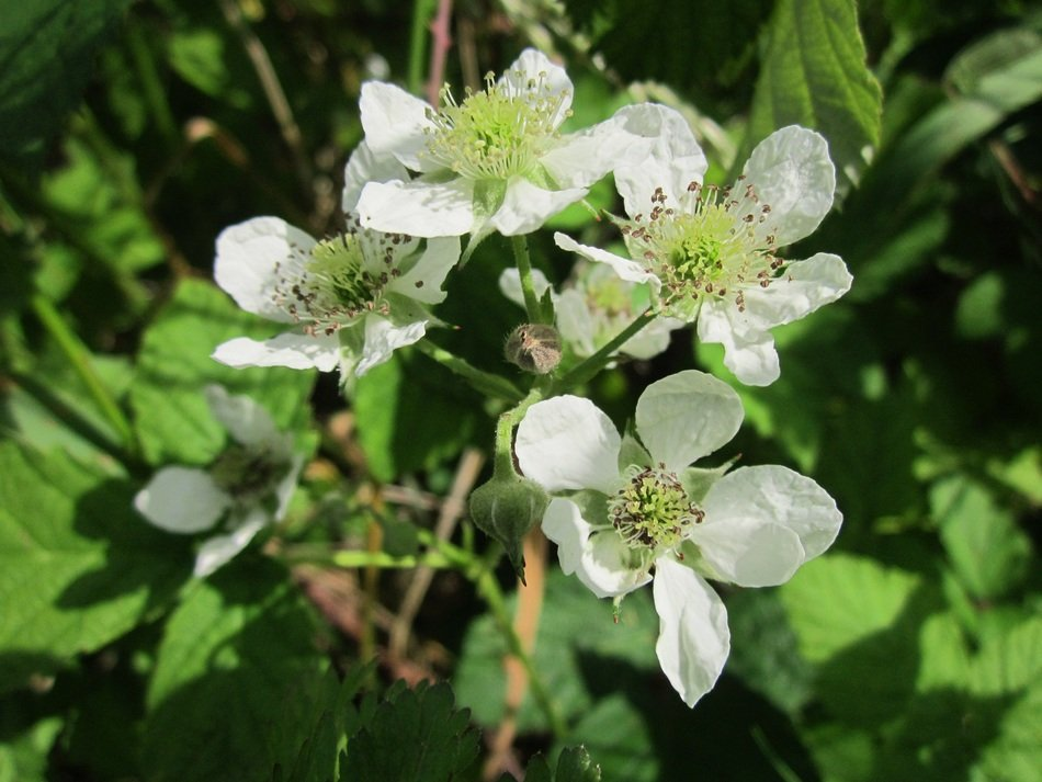 white flower of the BlackBerry close-up on blurred background