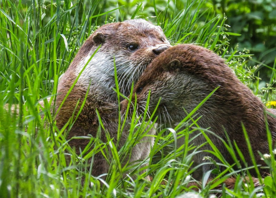 otter on the meadow