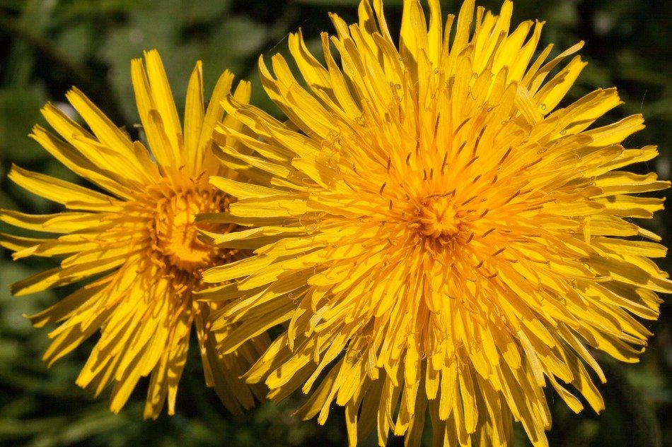 yellow common dandelion natural plant