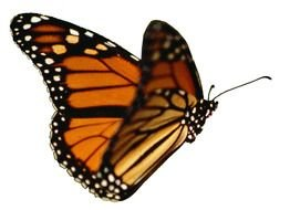Colorful Monarch Butterfly Flying