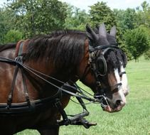 front part of two horses in harness on meadow