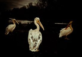 three pelican in black and white background