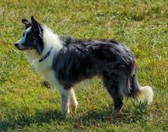 border collie, alert herding dog on meadow