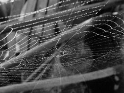 cobweb with dew drops, black and white