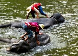 people wash the elephants in the river