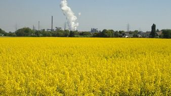 rapeseed field against the background of an industrial enterprise