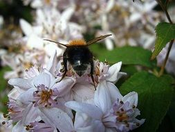 A huge bumblebee on white flowers