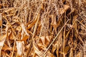 dry corn stems, background