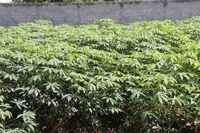 a lot of cassava