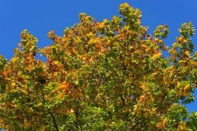 tree leaves maple autumn colorful blue sky