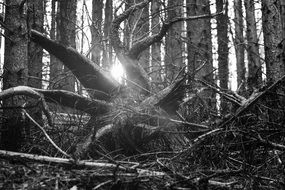 Black and white photo of forest trees with sunlight