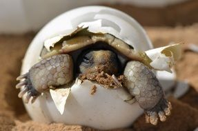 a baby turtle hatches from an egg