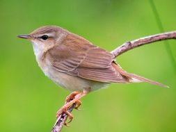 grasshopper warbler, bird sitting on branch