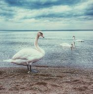 incredible beauty swans
