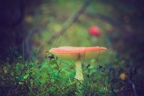 fly agaric mushroom red poisonous toxic forest