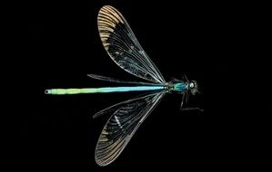 Macro picture of ebony jewelwing damselfly
