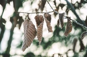 dry leaves on a frozen branch