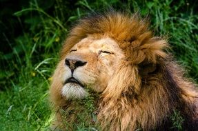 wild african lion basking in the sun