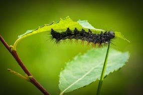 Hairy caterpillar on green leaf