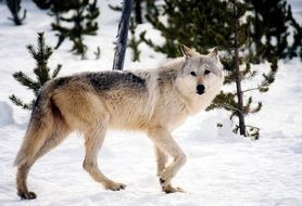 incredible beauty gray wolf