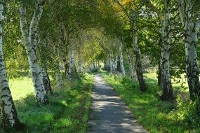 Path between birch trees