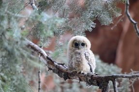Mexican spotted owl on a tree branch