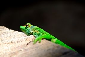 bright green lizard is a reptile
