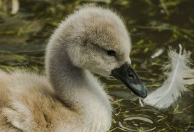photo of a little swan