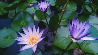 three purple water lilies close up