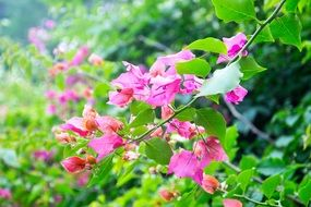 branches with leaves of bougainvillea glabra