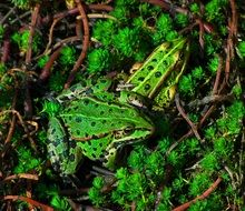 two green frogs on moss