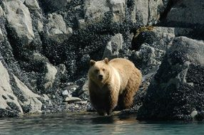 wild brown bear in national park
