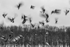 black and white photo flock of birds